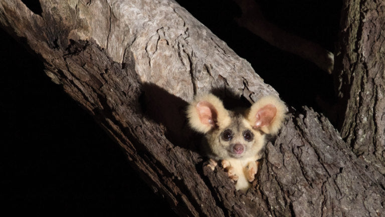 AUSTRALIAN THREATENED SPECIES: GREATER GLIDER