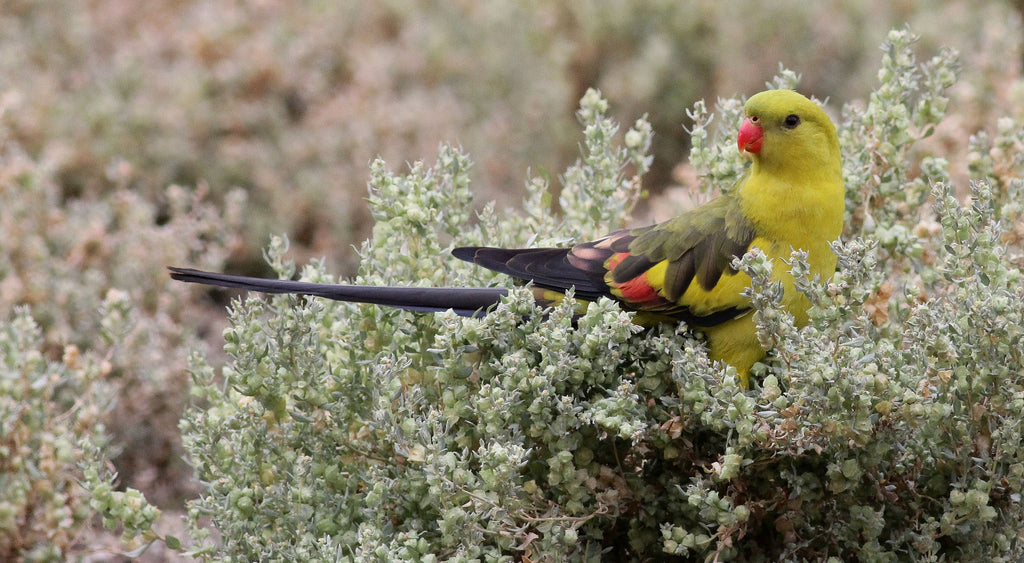 Australian threatened species: The Regent Parrot