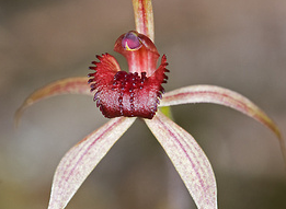 Australian Endangered Plants: Frankston Spider Orchid