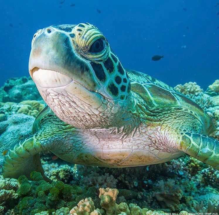 Green sea turtle numbers increasing