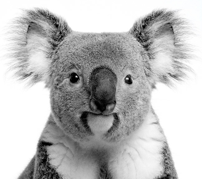 Australian Threatened Species: The Koala