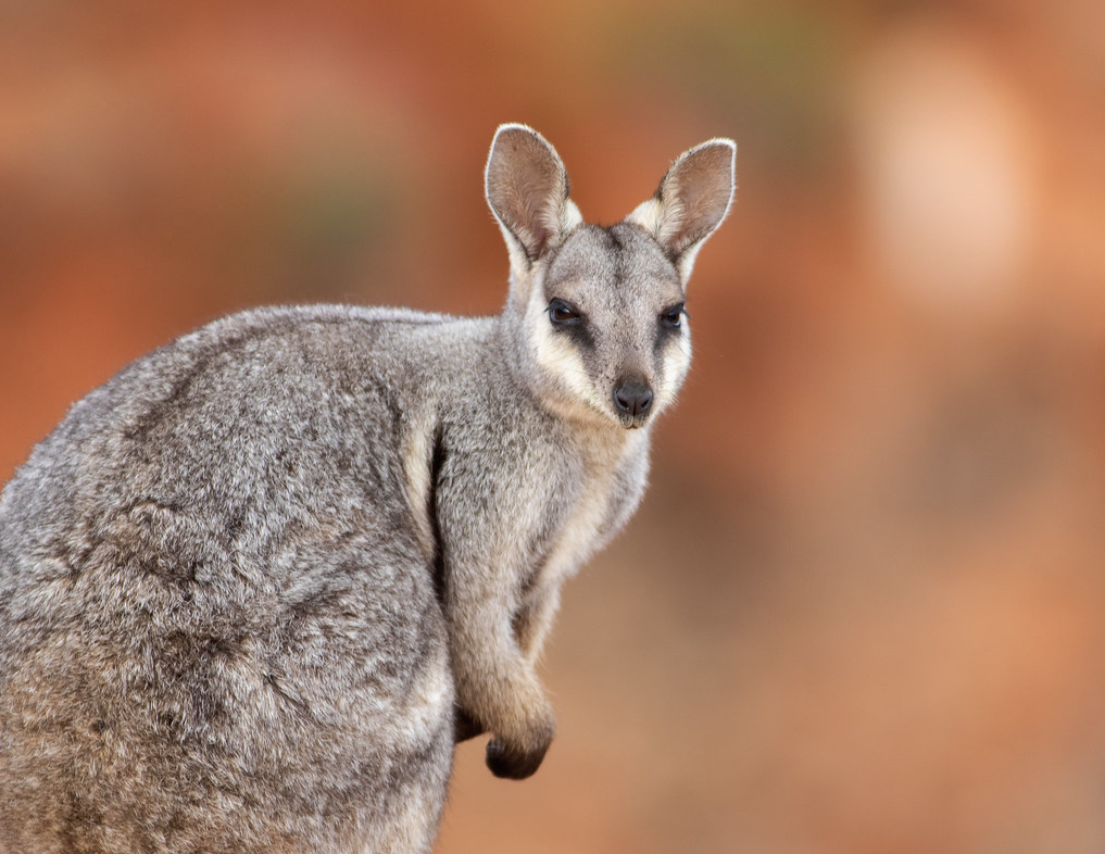 Australian Threatened Species: The Black Flanked Rock Wallaby