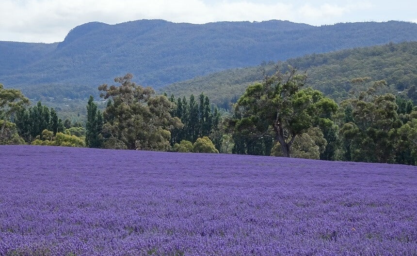 Ingredient focus: Tasmanian lavender