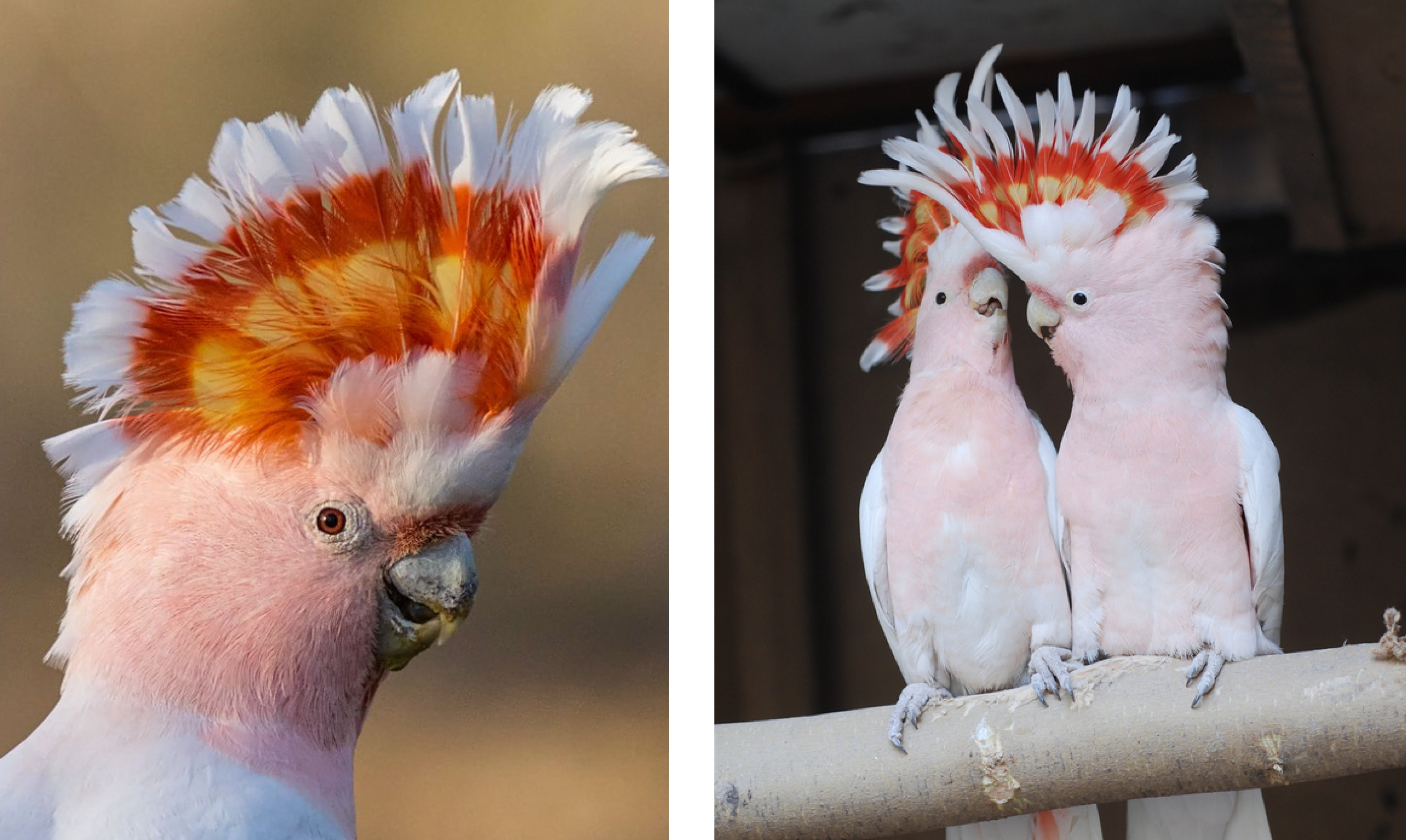 Pretty in pink - the Major Mitchell's cockatoo