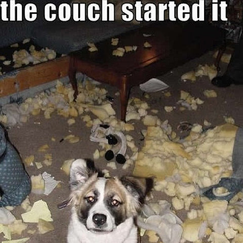 dog eaten couch sofa