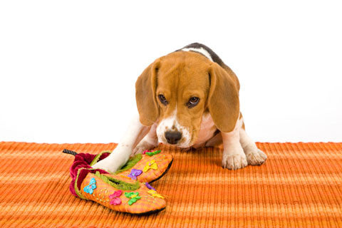 puppy chewing and biting on shoes