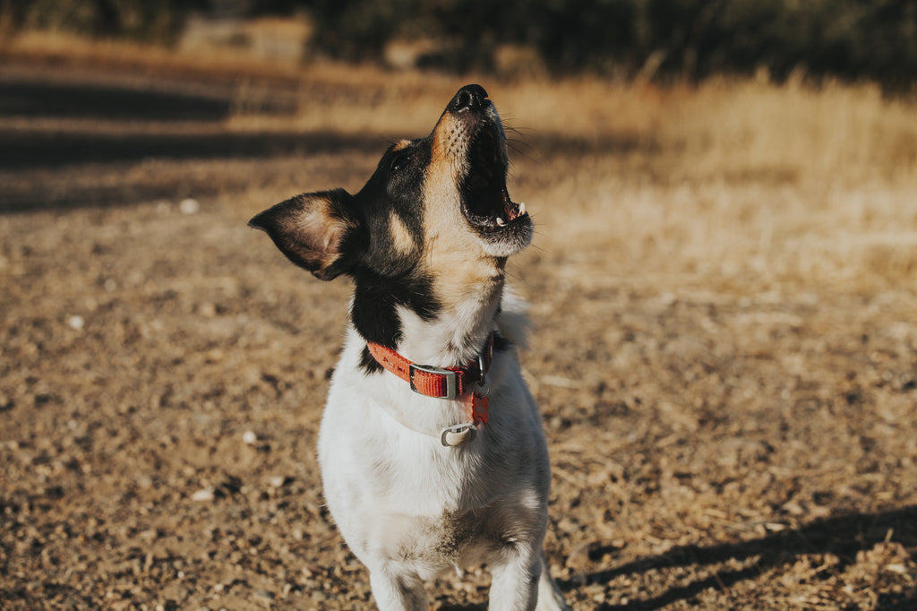 The Beginner's Guide to Using an Anti Bark Collar for Dogs