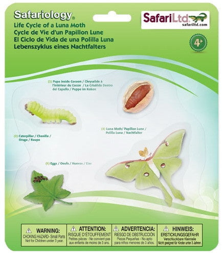 Life Cycle of a Luna Moth - Little Whale