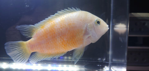 Convict Cichlid (orange)
