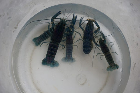 Australian red claw crayfish 2 to 3 inch - Tilapia Store