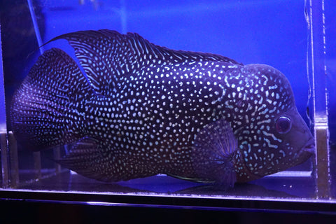 Flowerhorn Gold Base F2