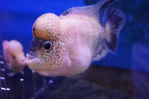 Gold Base Flowerhorn i11