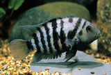 Convict Cichlid (Black)