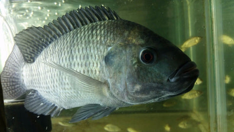 Blue Tilapia Breeder Colony - Tilapia Store