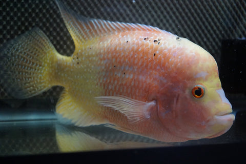 Flowerhorn Gold Base 01