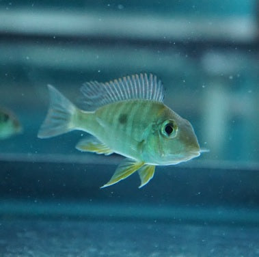 Geophagus Tapajos (Red Head)