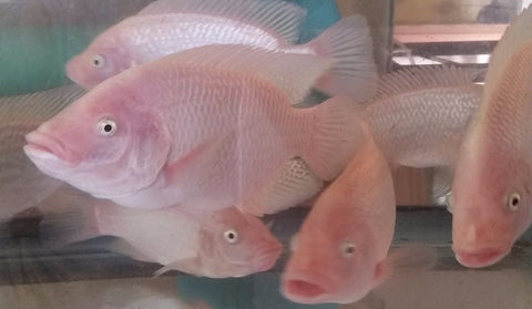 Hawaiian Gold (3 to 4 inch) - Tilapia Store