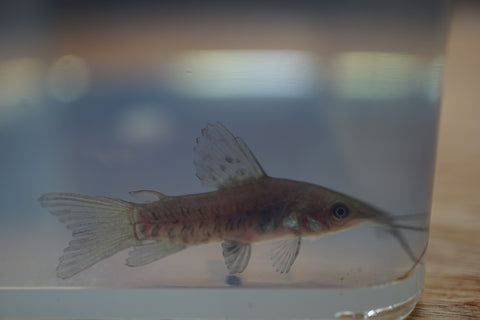 Hoplo Catfish  (Hoplosternum) 4 to 5 inch