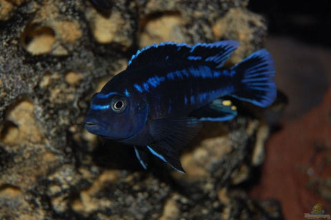 "Electric Blue Johanni ¼-¾"" - Tilapia Store"