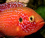"Red Jewel Cichlid 1/4 to 3/4"" - Tilapia Store"