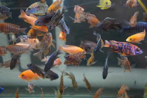 Peacock Cichlid Assortment Pack  6 fish (Aulonocara sp.)  1/2  to 1 inch