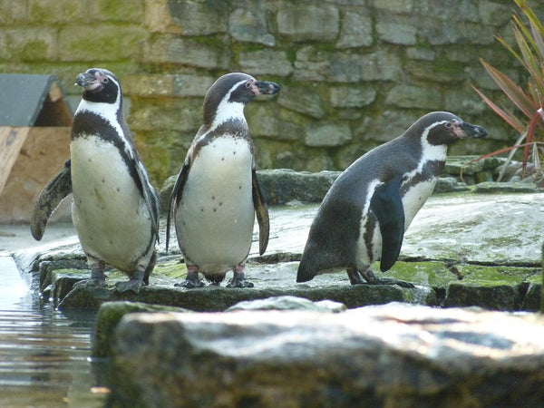 Birdworld Penguins