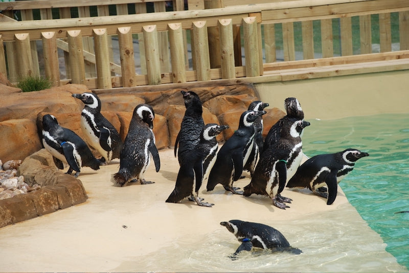 Blackpool Zoo Penguins