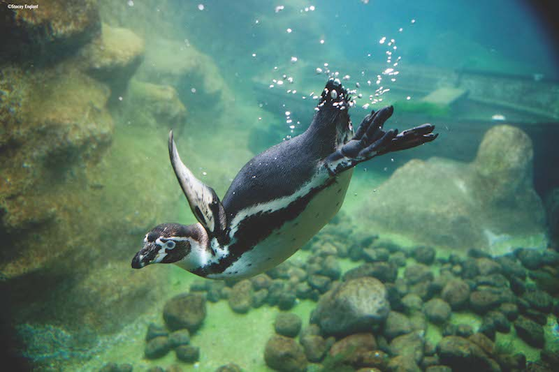 Colchester Zoo Penguins