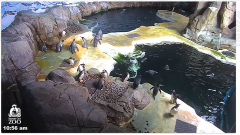 Kansas City Zoo Penguin Cam