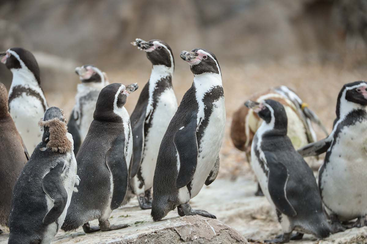 Penguins at Chester Zoo | Places to Visit Penguins in the UK