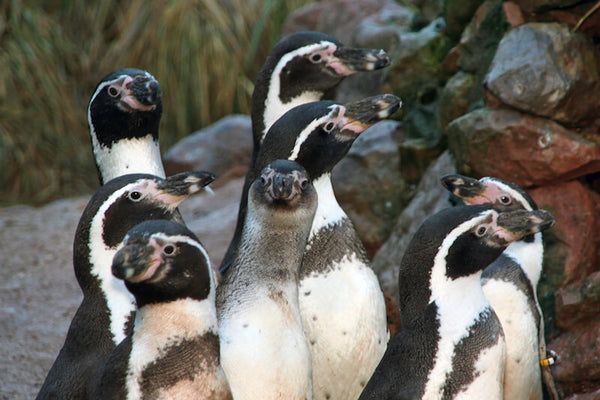 Humboldt Penguins at South Lakes Safari Zoo