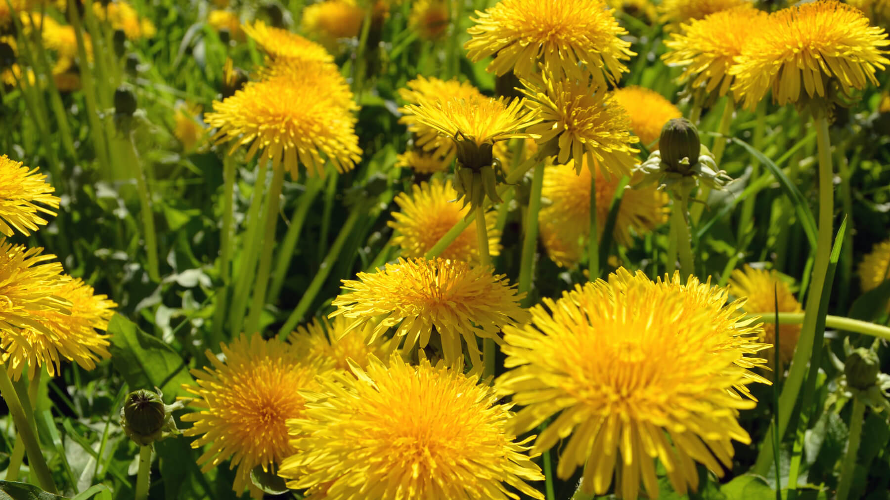 Dandelion for digestive problems - Goldleaf