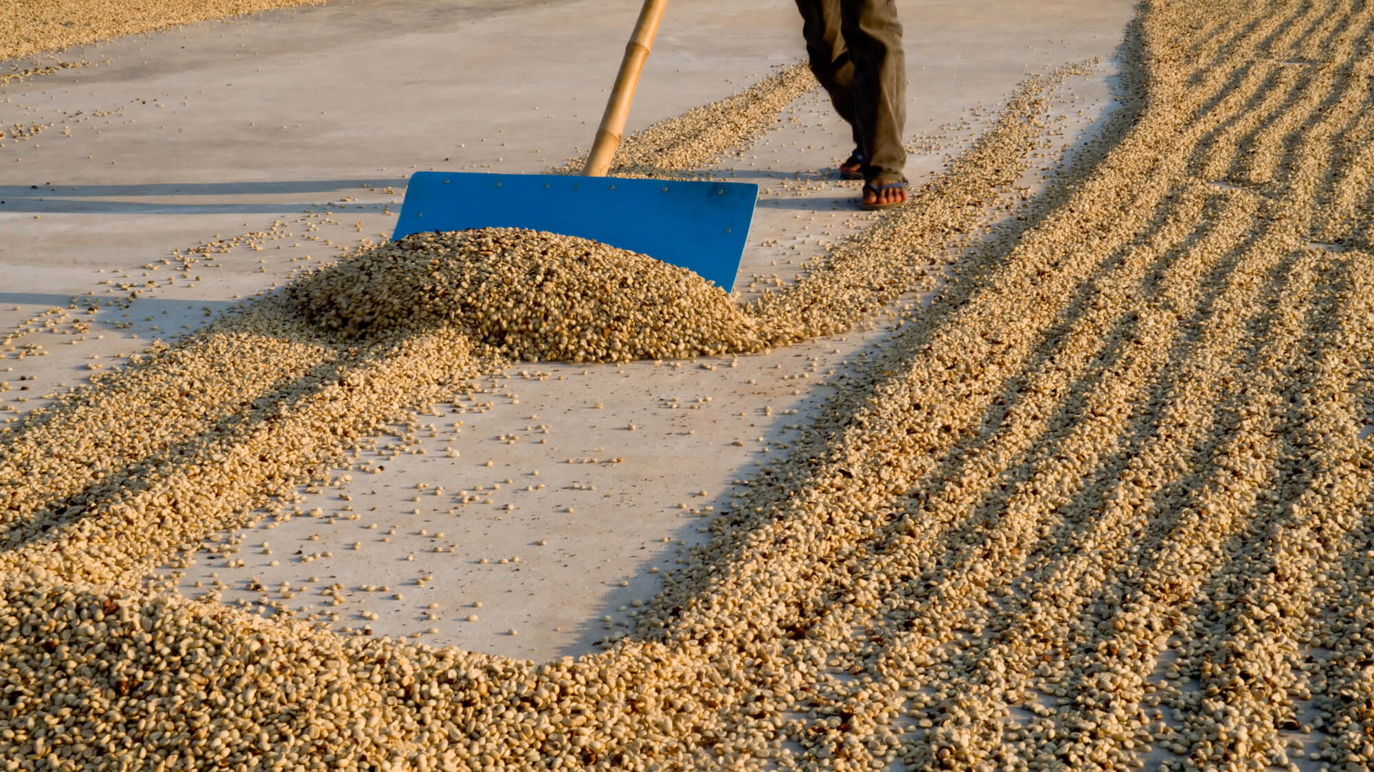 Natural Coffee Processing - Outdoor sun dried - Goldleaf