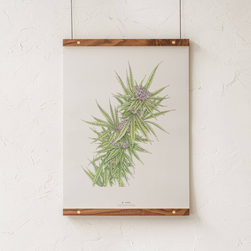 Blue Dream Botanical Illustration Print - Cannabis Sativa Botanical Plant Drawing - Marijuana Art - Goldleaf