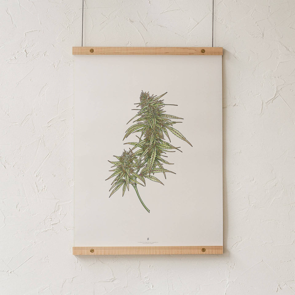 Cannabis Botanical Illustration Print - Cannabis Flower Drawing Poster - Marijuana Art - Goldleaf