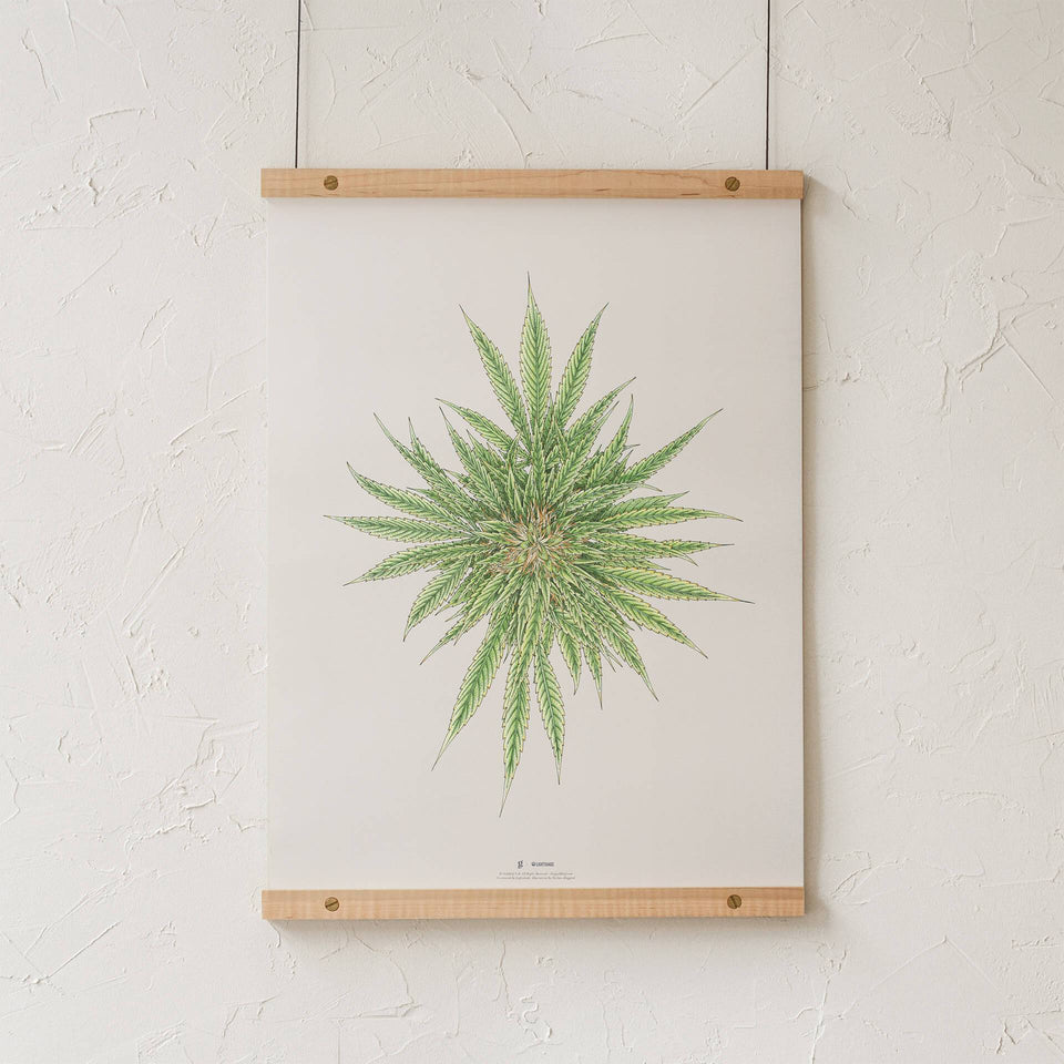 White Dawg Botanical Illustration Print - Cannabis Sativa Botanical Plant Drawing - Marijuana Art - Goldleaf