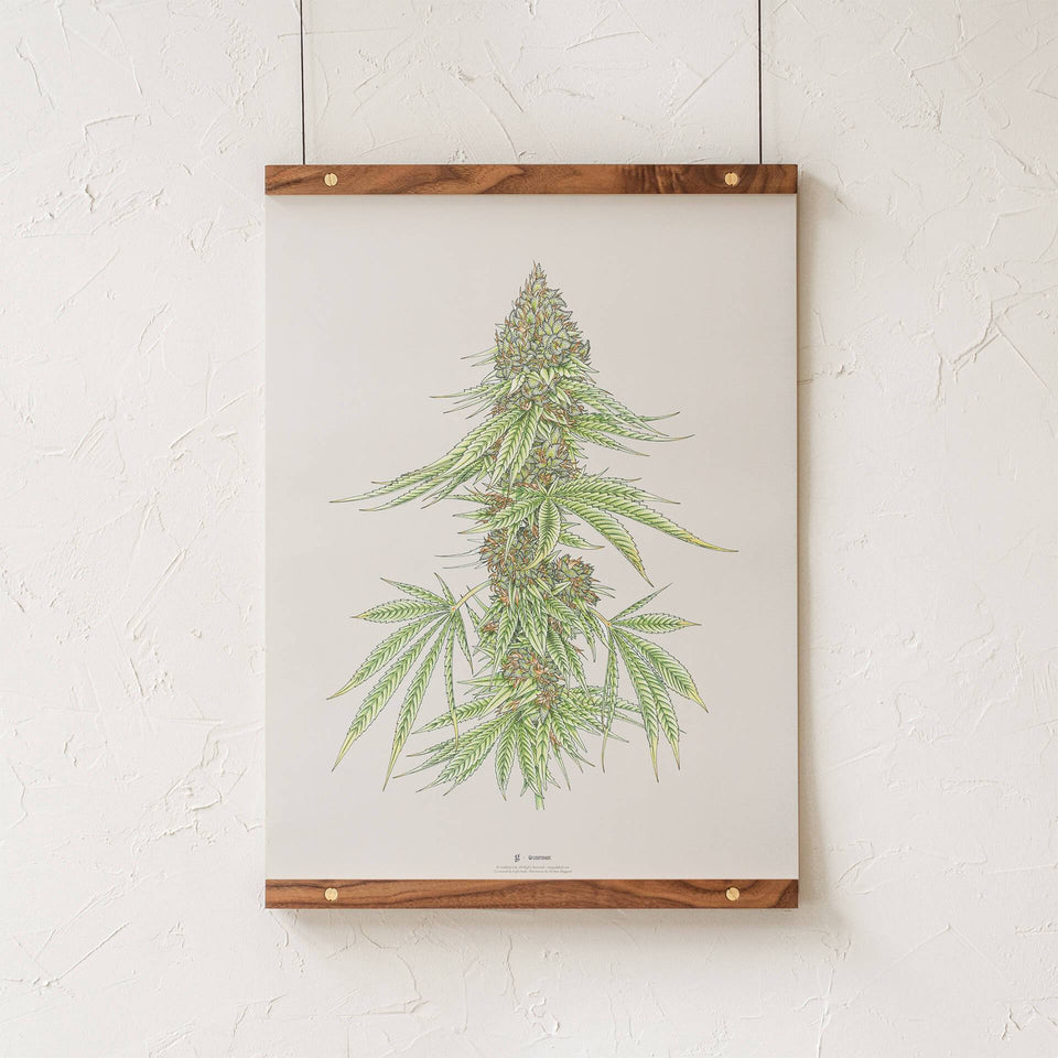 White99 #1 Botanical Illustration Print - Cannabis Sativa Botanical Plant Drawing - Marijuana Art - Goldleaf