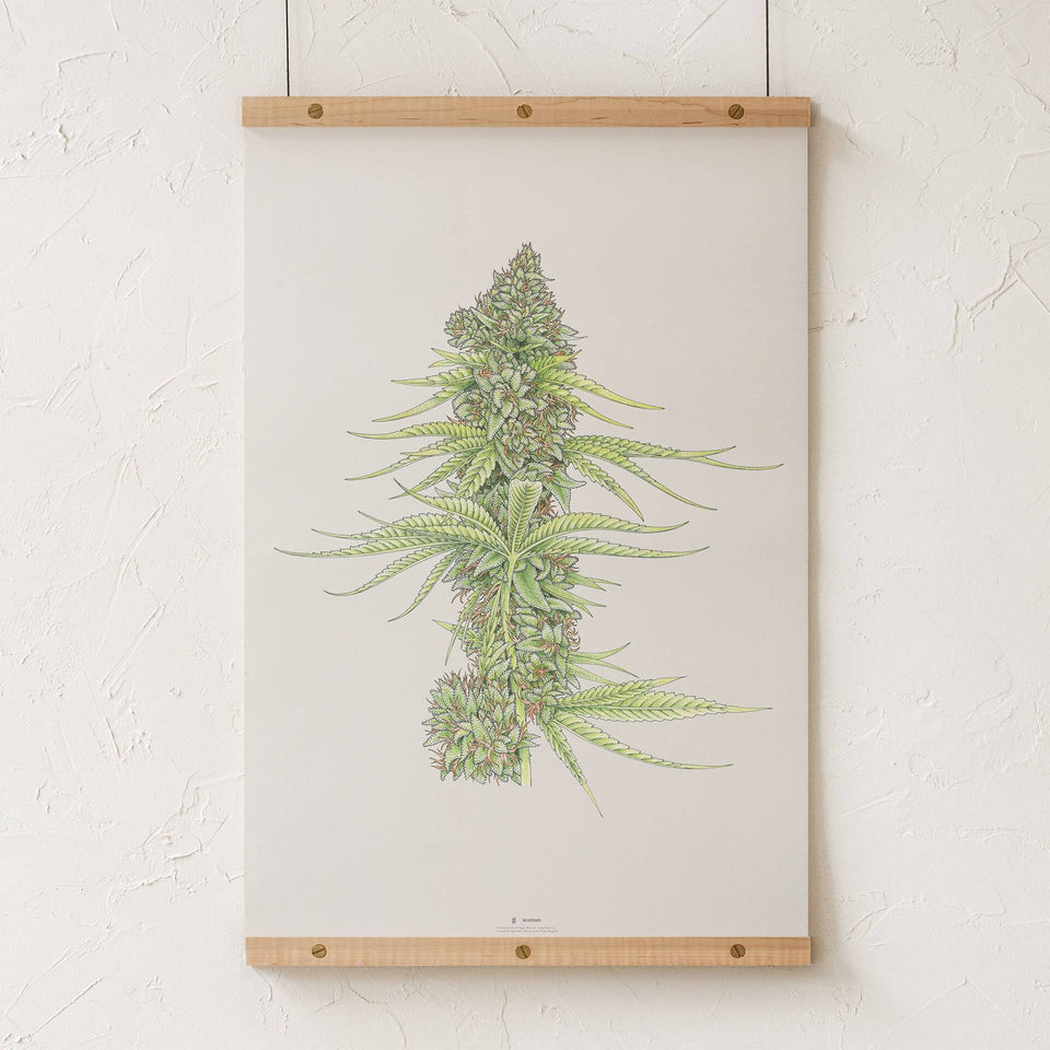 White99 #2 Botanical Illustration Print - Cannabis Sativa Botanical Plant Drawing - Marijuana Art - Goldleaf
