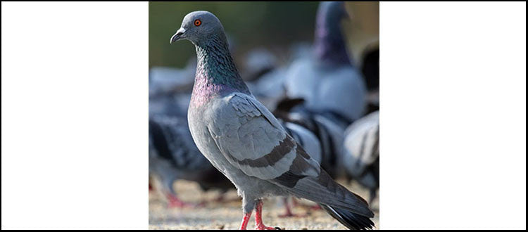 Feral Pigeon, Rock Pigeon, City Pigeons or Street Pigeons