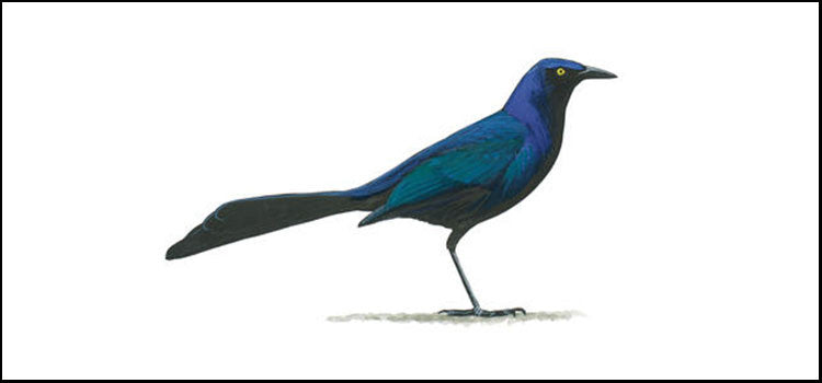 The Common Grackle - A Nuisance for Both Agricultural and Structural