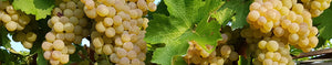 History of Trebbiano grapes