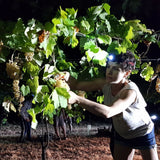 DAR Albana 2014 night harvest