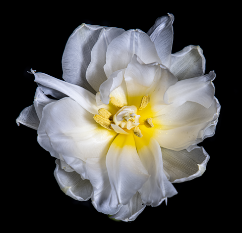 White Tulip, Botanical Art Prints by Photographer Tal Shpantzer