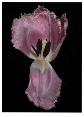 Tulip, Botanical Art Prints by Photographer Tal Shpantzer