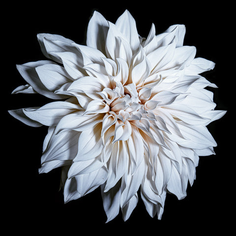 Dahlia, Cafe au Lait, Botanical Art Prints by Photographer Tal Shpantzer