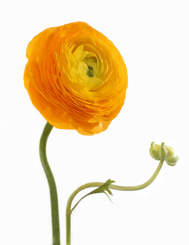 Blooming  Ranunculus , Print by Photographer Tal Shpantzer