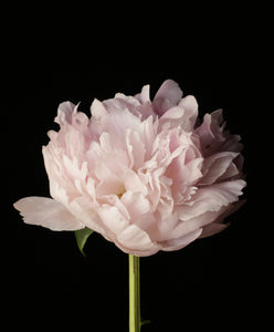 Peony Dreams, Prints by Photographer Tal Shpantzer