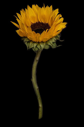 Sunflower 2, Print by Photographer Tal Shpantzer