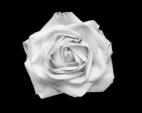 Rose, Prints by Artist Photographer Tal Shpantzer