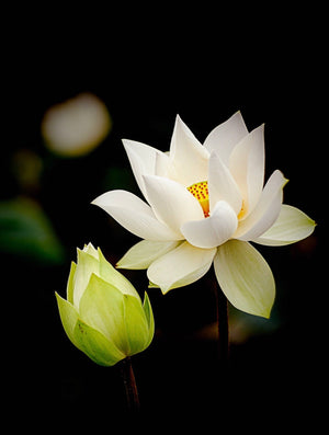 WHITE LOTUS OIL